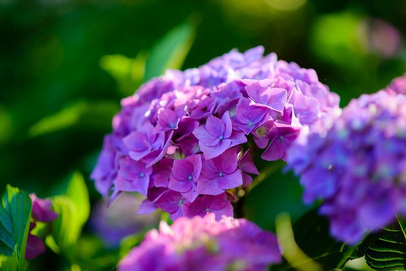 大神山神社 紫陽花 2016.6-28