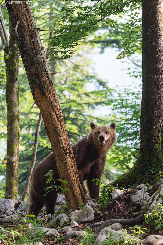 Brown bear 14 - Slovenia