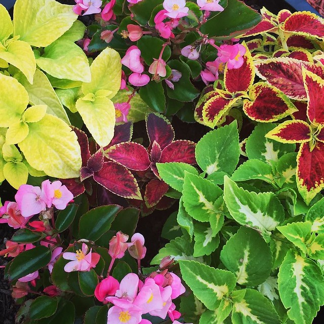 Planter of #coleus and #begonia.