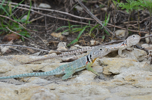 Eastern Collared Lizard #14
