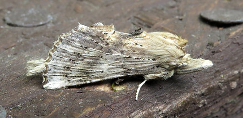 Pale Prominent Pterostoma palpina Tophill Low NR, East Yorkshire May 2016
