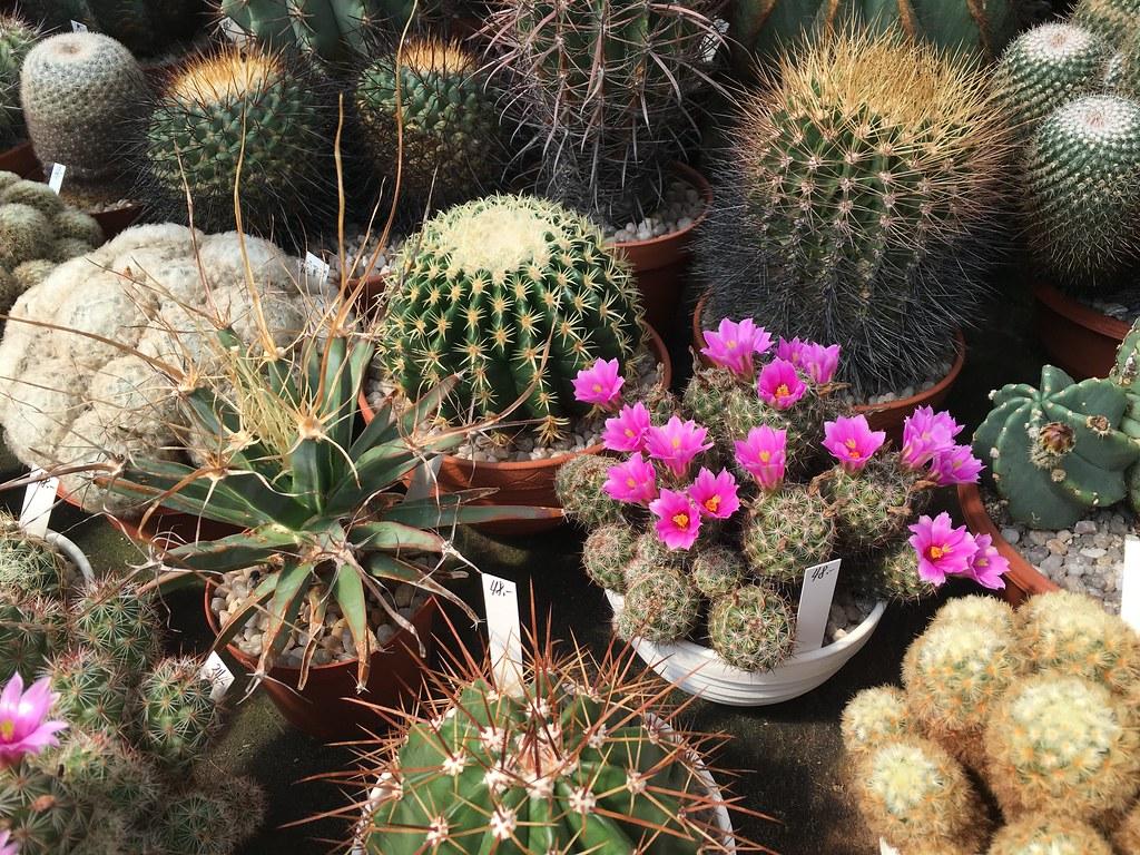 Ha-Ka-Flor - cactus et plantes grasses 28106973470_6e993644fe_b