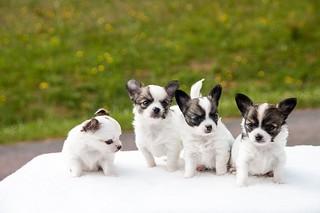 puppies-453532_640