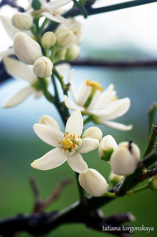 Цветы померанца