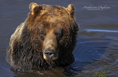 Cooling off (Grizzly Bear) [Explored] | by K D Photos