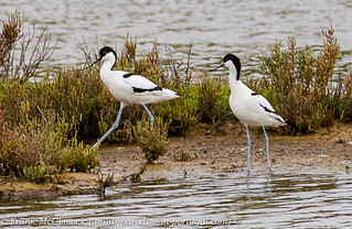 Avocets at Salgados-2868 | by Paradise in Portugal