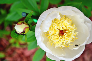 Our peony and their ants 2012 | by Irelynkiss