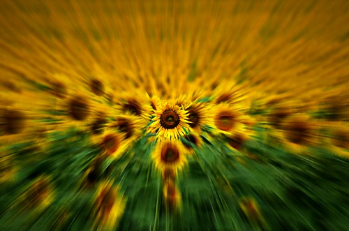 Zooming Sunflowers - Explored 7/29/2012 | by Jayhawk Explorer