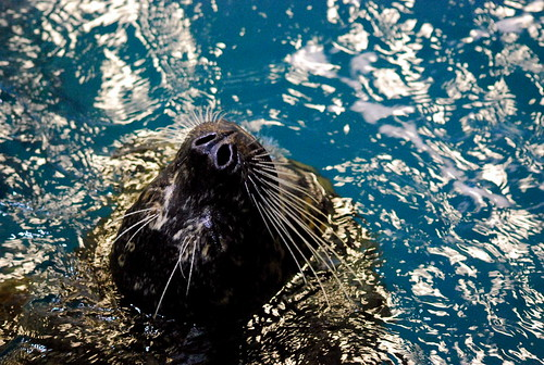 JA - seal whiskers | by Sweetnicks
