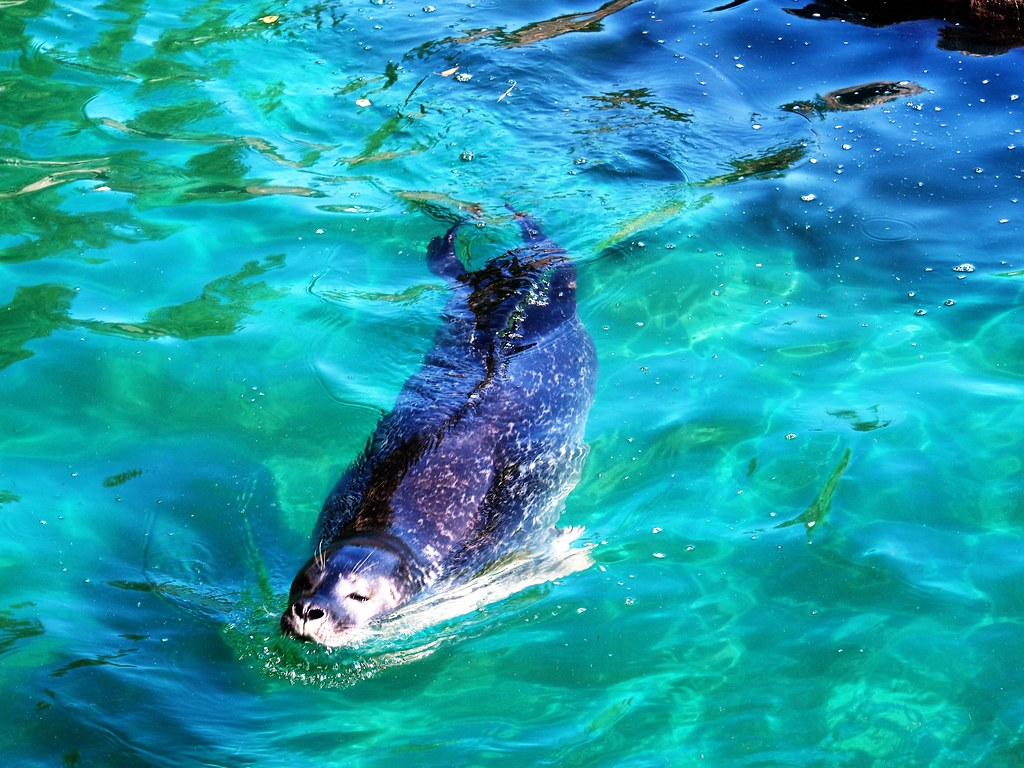 Common Seal at Scottish Sea Life Sanctuary, Oban.