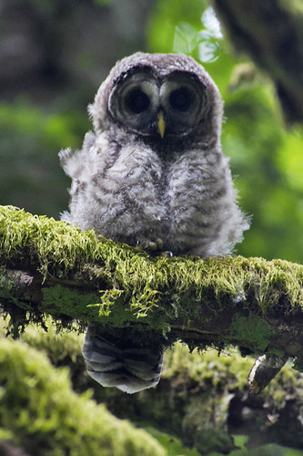 baby owl! | by fog and swell