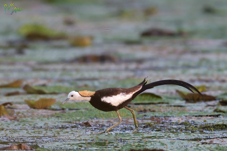 Pheasant-tailed_Jacana_2021