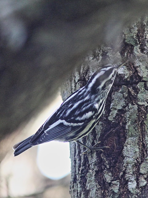Black-and-White Warbler 20160907