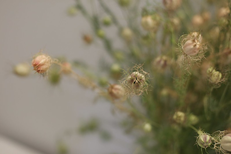 love in a mist seed pods