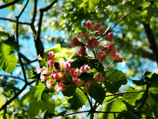 Chestnut-Blooms-Pink-1 | by Chris Sorge