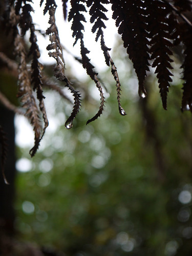 120  Fern Drops | by Klene Hilda