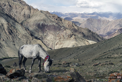ladakhi_horse | by alamond