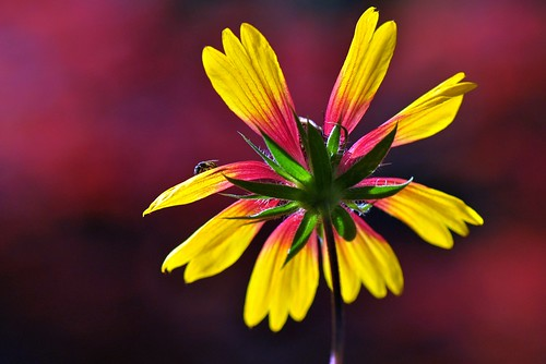 The sunshine of Gaillardia flower