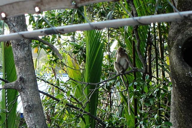 尋找長鼻猴