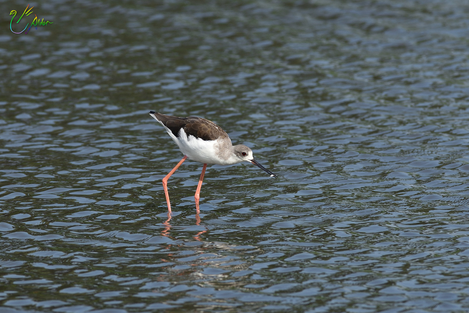 Black-winged_Stilt_8630