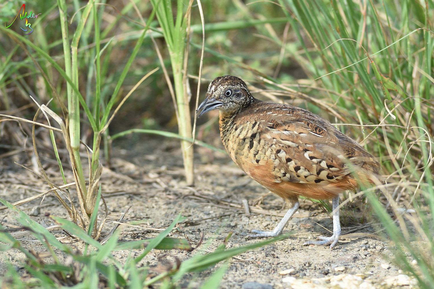 Barred_Butonquail_9455