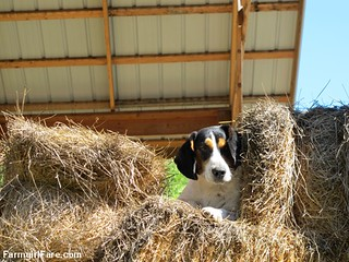 Bert in the hay (1) | by Farmgirl Susan