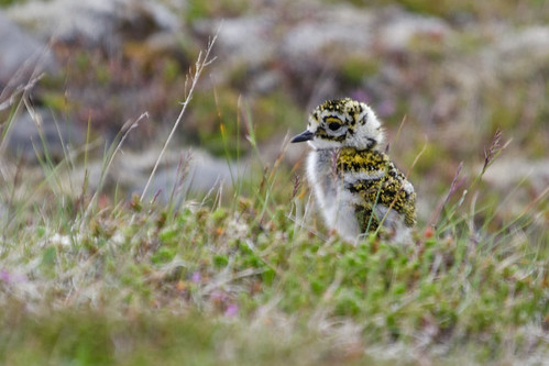 Golden plover chick | by karinhardorff
