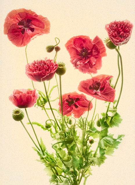 Papaver somniferum and Papaver dubium