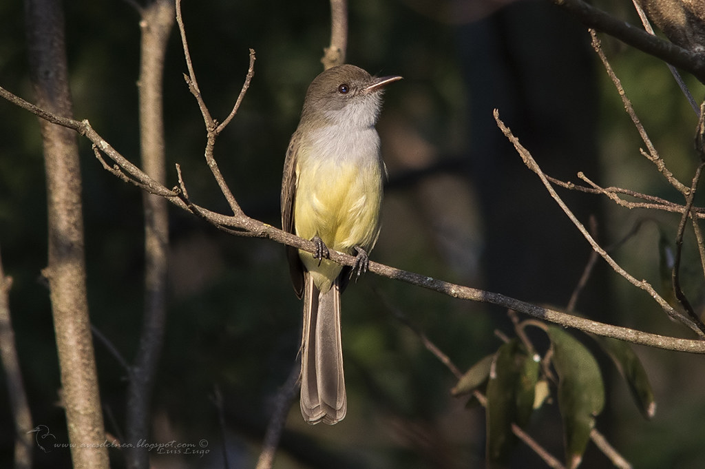 Burlisto pico canela (Swainson´s Flycatcher) Myiarchus swainsoni