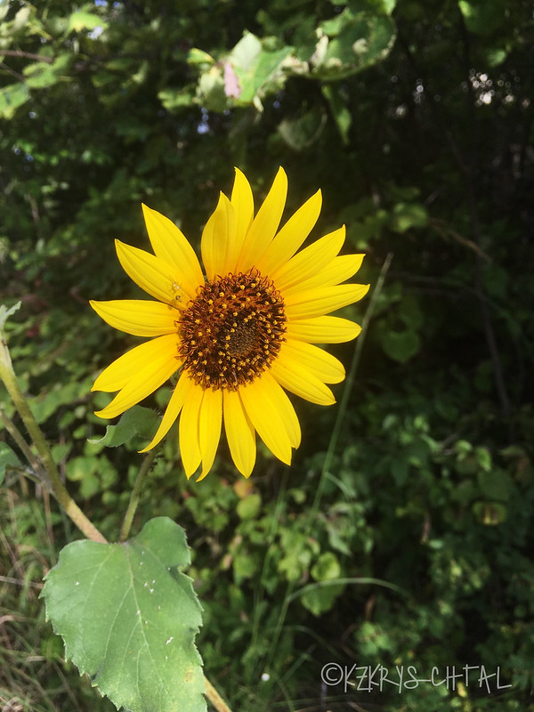 IMG_4656Sunflower