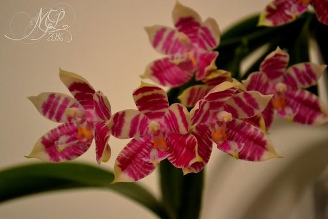 Phalaenopsis Gersenii 28593445310_576f6741f2_z