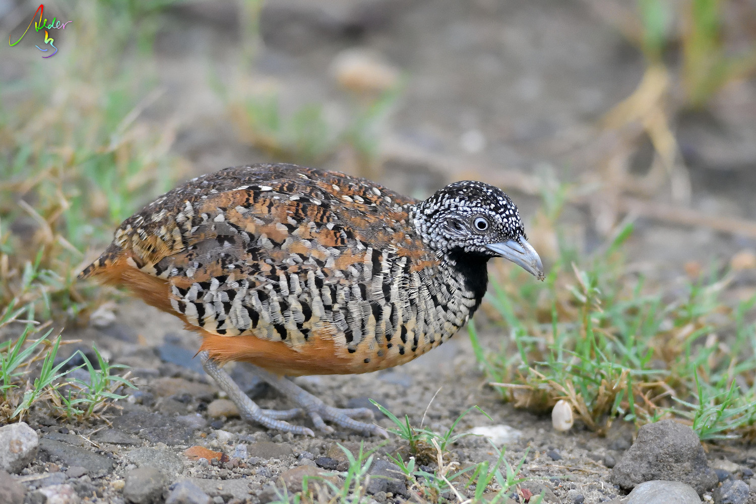 Barred_Buttonquail_1258