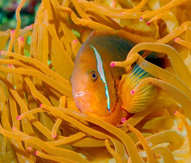 Clown Fish_1