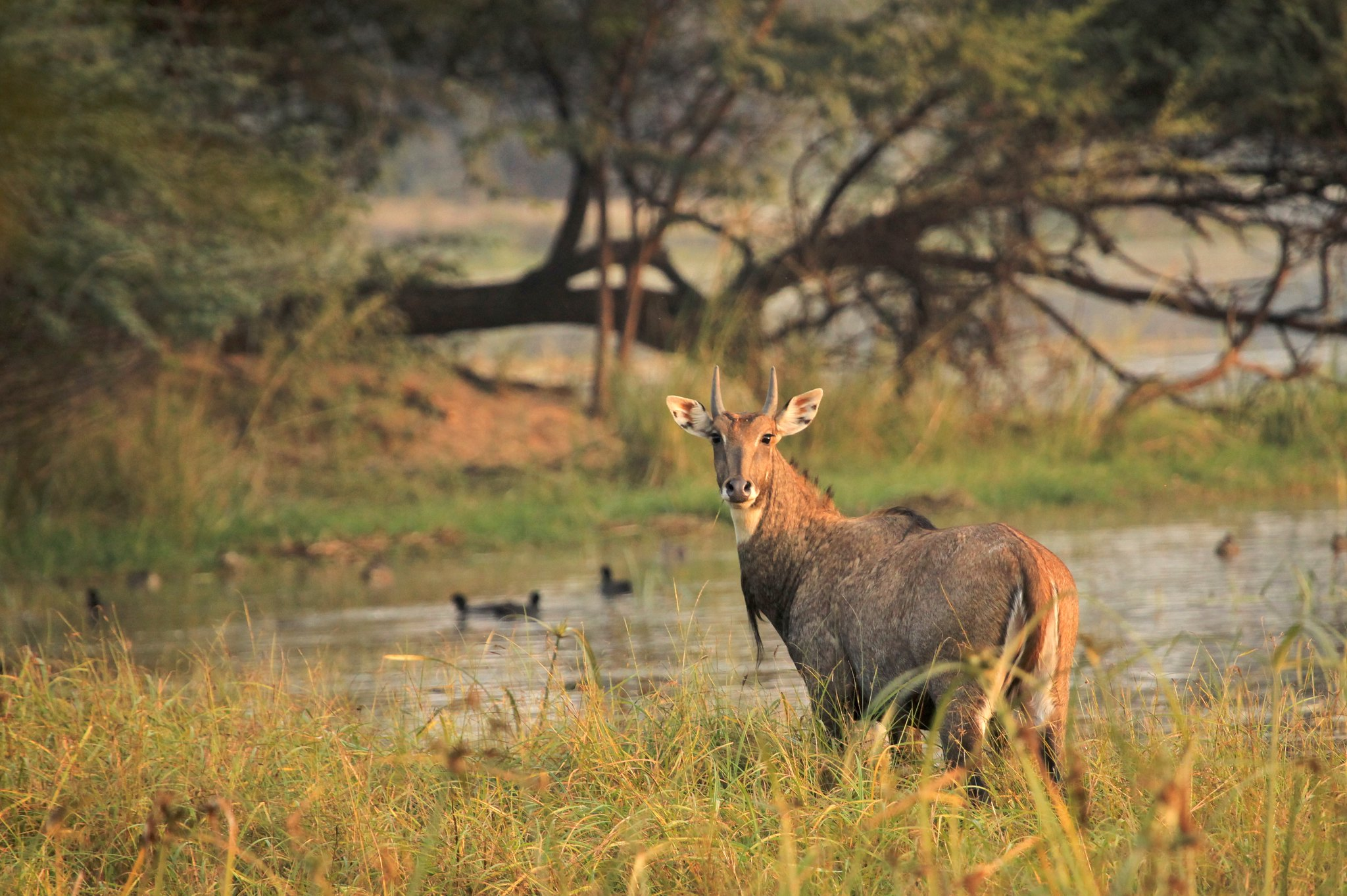 Neelgai at Sultanpur National Park