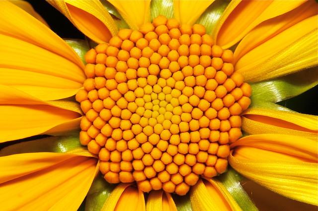 Newly opened Wild Sunflower (Tithonia diversifolia, Asteraceae)