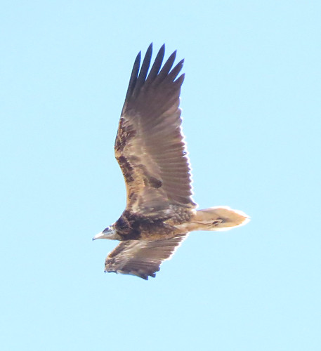 Egyptian Vulture Neophron percnopterus Sagres, Algarve September 2016