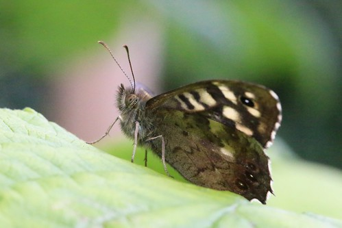 Speckled wood butterfly (side)