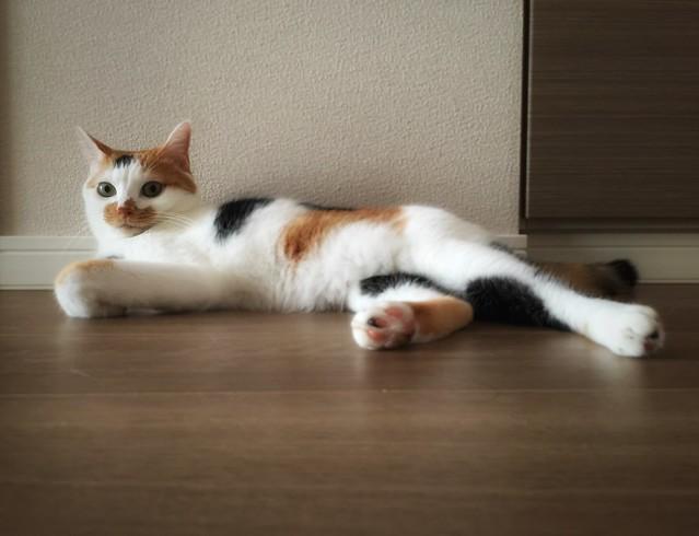 #cat #cats #catsofinstagram #catstagram #instacat #instagramcats #neko #nekostagram #猫 #ねこ #ネコ ネコ部 #猫部 #ぬこ #にゃんこ #ふわもこ部 #サビ猫