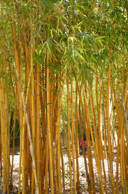 Bambusa dolichoclada 29508838166_ea42416409_o