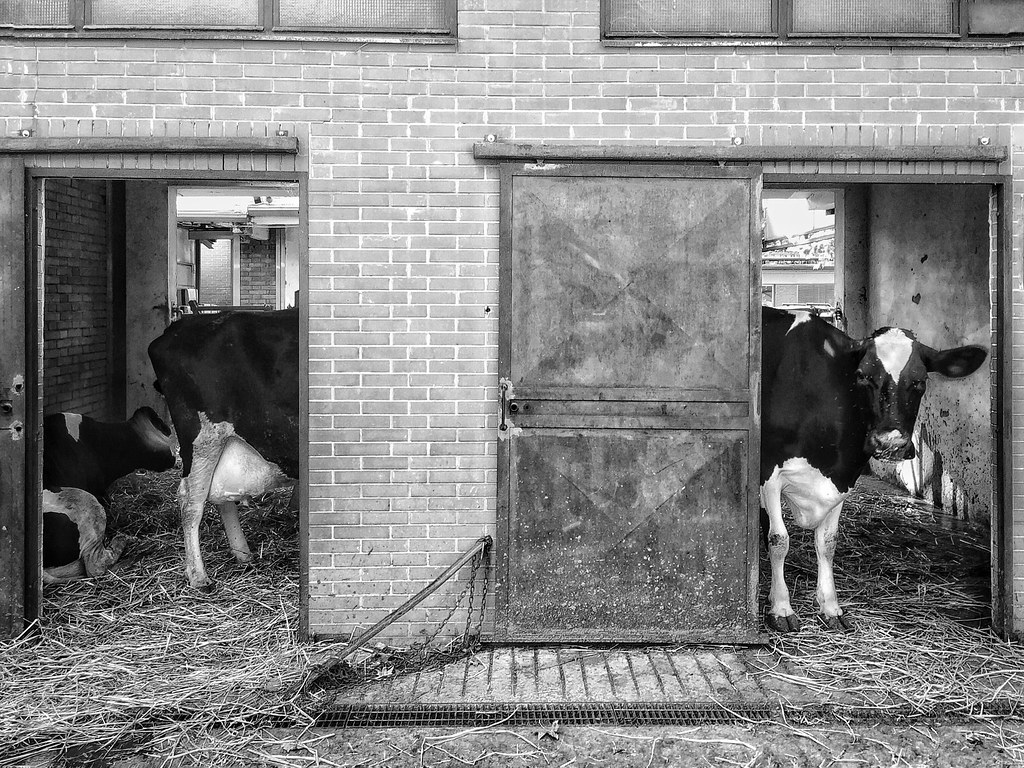 Long Cow!