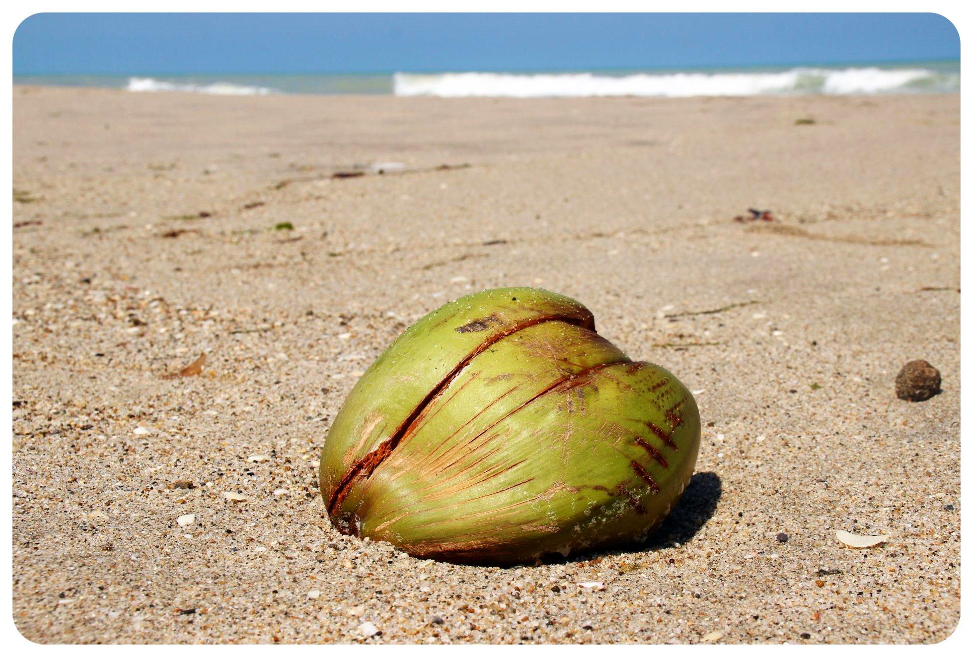 palomino coconut