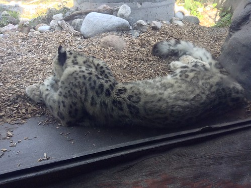 A snow leopard at the Toronto Zoo.