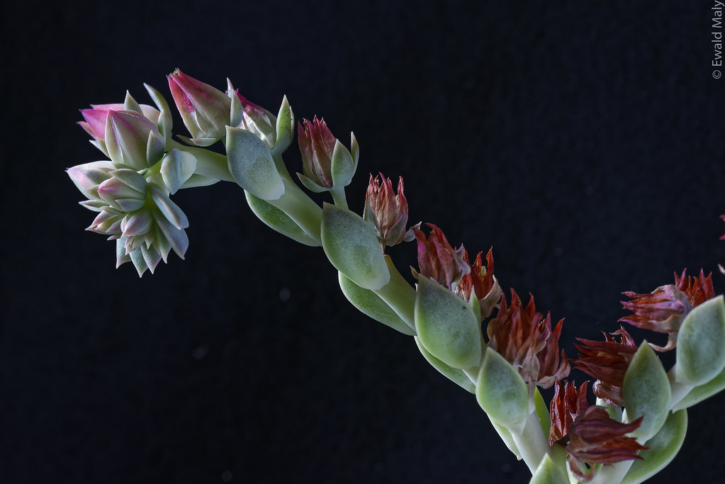 Flowering Echeveria