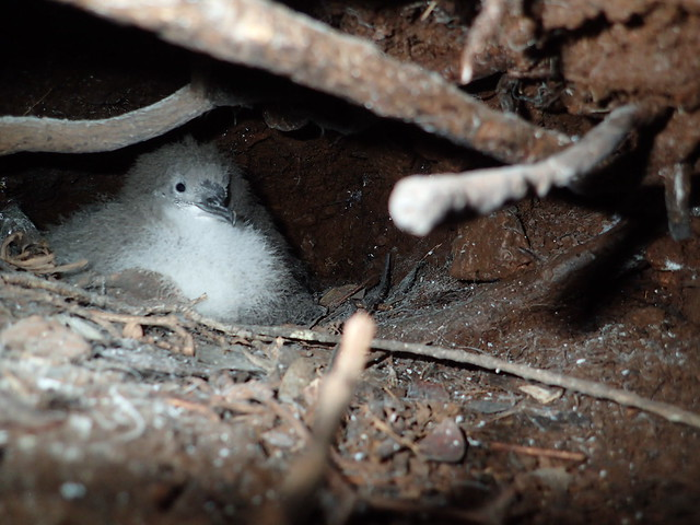 Newell's shearwater chick in burrow. Photo credit: Andre Raine/Kaua?i Endangered Seabird Recovery Project