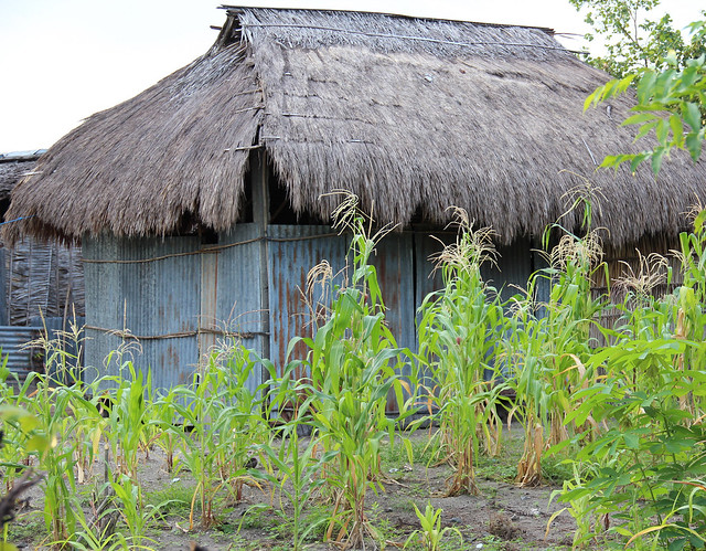 Corn grows outside a family home in Atauro, Timor-Leste. Photo by Holly Holmes, 2013.