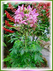Cleome hassleriana (Spider Flower, Spiderplant, Pink Queen, Grandfather's Wiskers), Aug. 5 2011 in Cameron Highlands