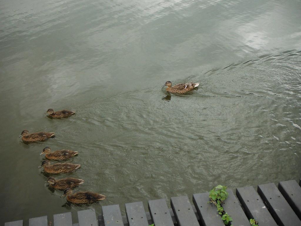 Duck Family 7