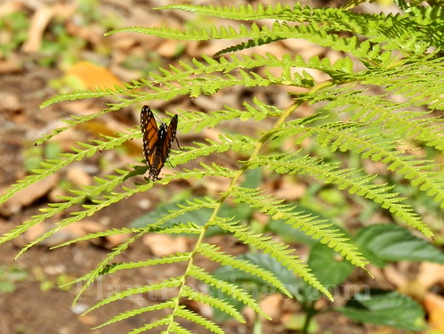 monarch on fern