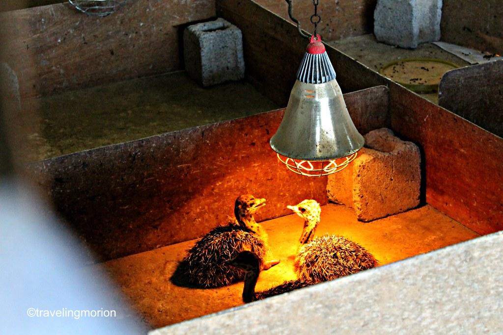 Ostrich Farm in Opol, Misamis Oriental