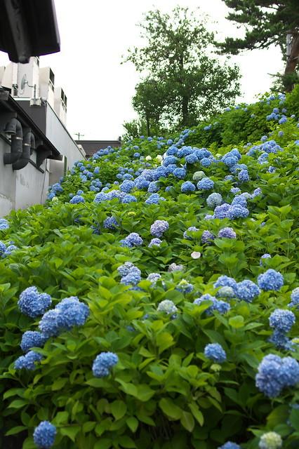 小樽貴賓館 2016あじさい_07